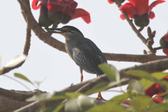 Mangrove Heron.jpg