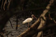 White Ibis (juv).jpg