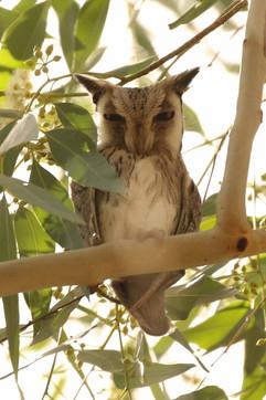 Northern White faced Owl.jpg
