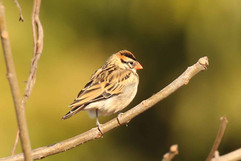 Pin tailed Whydahs (ad non br).jpg