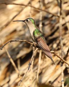 Wedge tailed Sabrewing (imm) .jpg