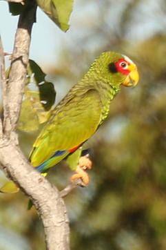 Yellow lored Parrot.jpg