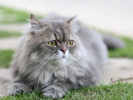 10 raças de gatos mais comuns no Brasil