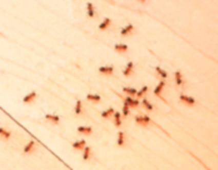 муравьи домашние.jpg