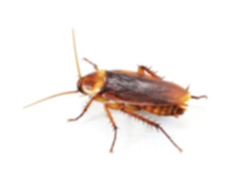 Blattella germanica