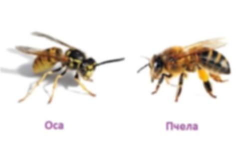 пчела оса.jpg