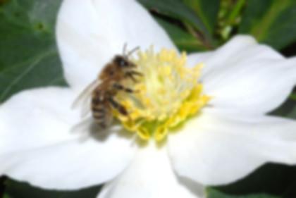 пчела опылитель на цветке.jpg