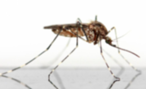 комар.jpg