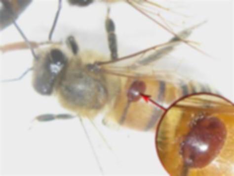 клещ у пчел.jpg