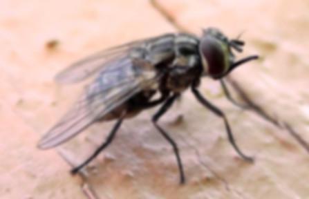 Осенняя муха.jpg