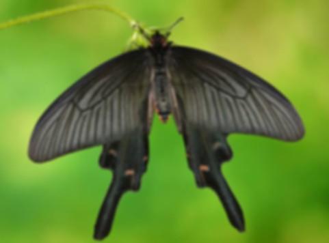 Бабочка Алкиной.jpg