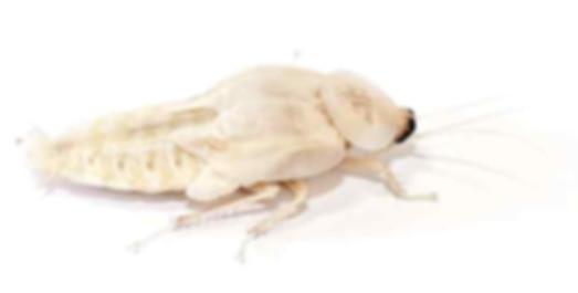 Albino cockroach.jpg