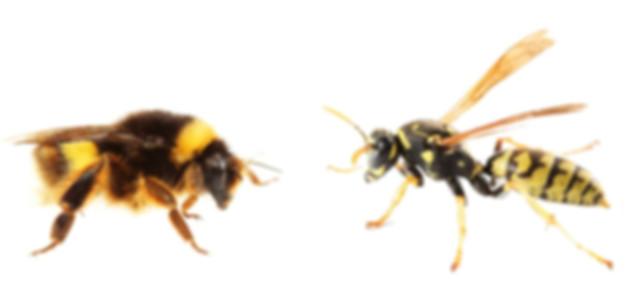 пчела и оса.jpg