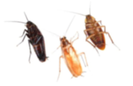 Виды тараканов.jpg