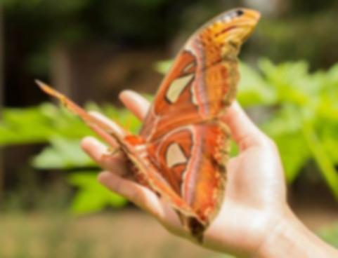 Бабочка атлас.jpg