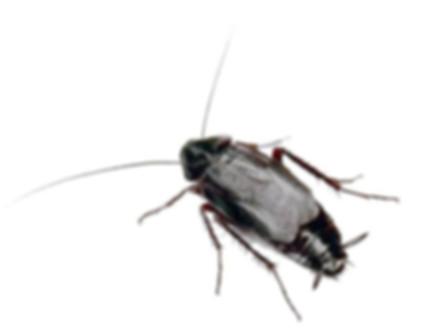 черный таракан.jpg
