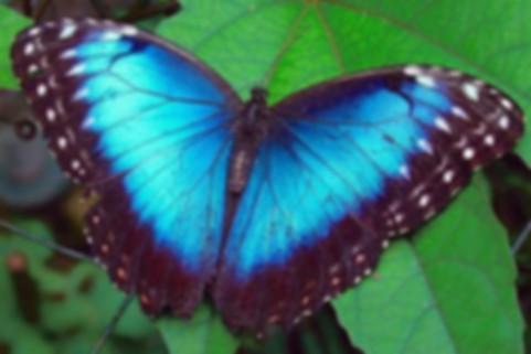 Бабочка морфо.jpeg