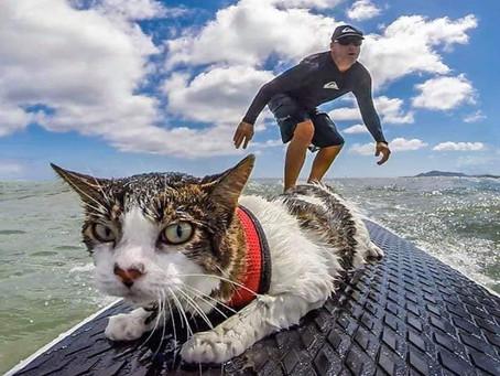 ไหนใครว่าแมวกลัวน้ำ มาทำความรู้จักกับแมวทะเลกันค้า