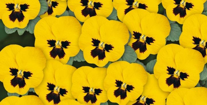 Viooltje kleinbloemig geel-zwart