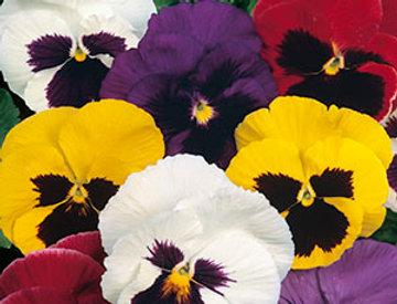 Viola Mixed colours
