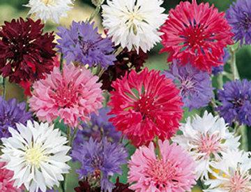 Korenbloem Mixed colours