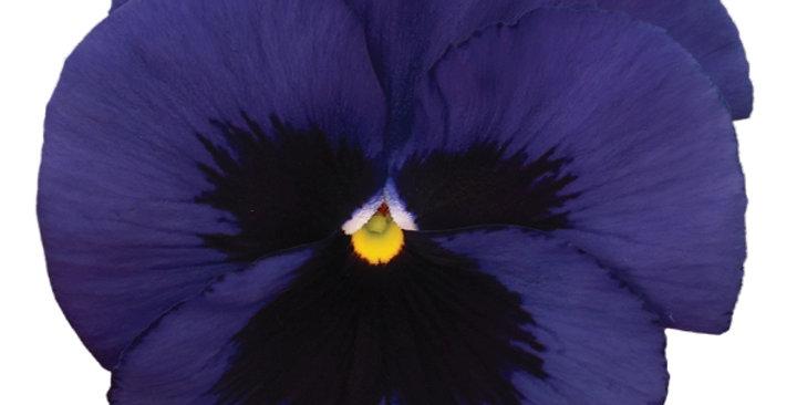 Viooltje grootbloemig donkerblauw-zwart