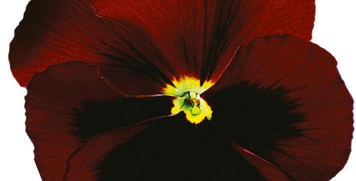 Viooltje grootbloemig rood-zwart