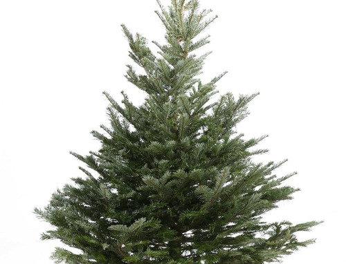 Kerstboom Nordmann gezaagd +- 200-250 cm