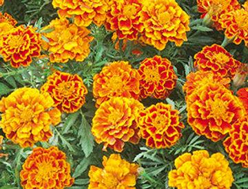 Tagetes Lage oranje-bruin