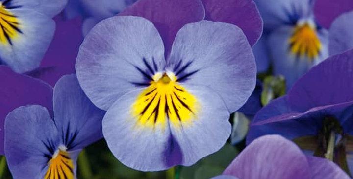 Viooltje kleinbloemig blauw-geel