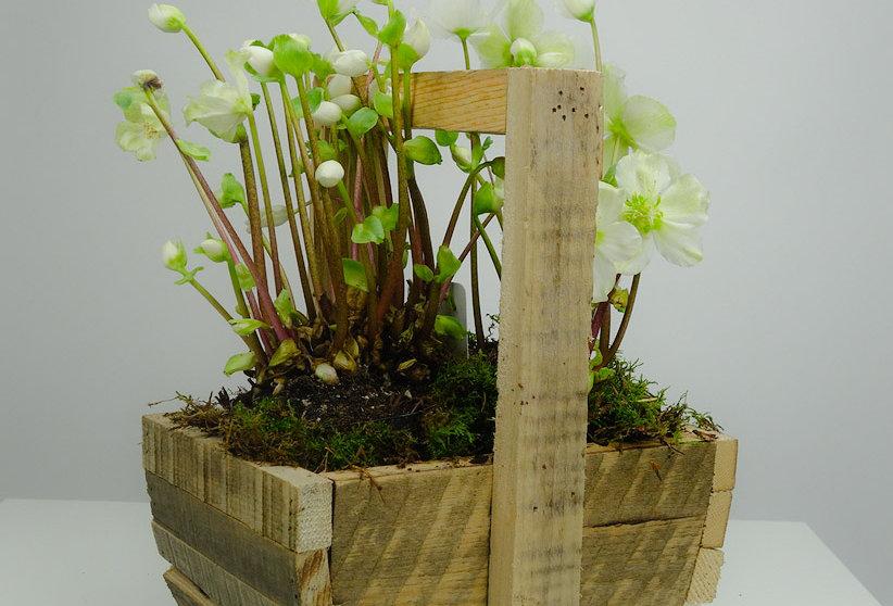 Helleborus Verboom Beauty