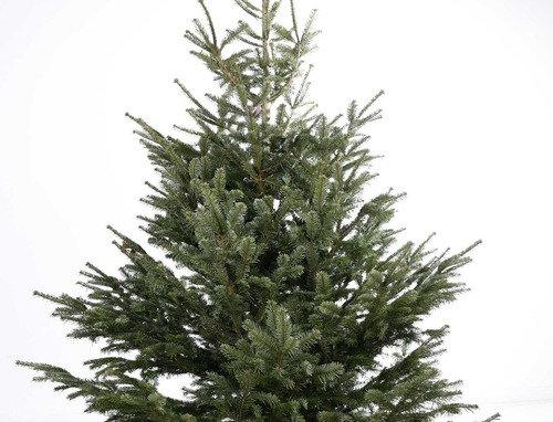Kerstboom Nordmann gezaagd +- 250 - 300 cm
