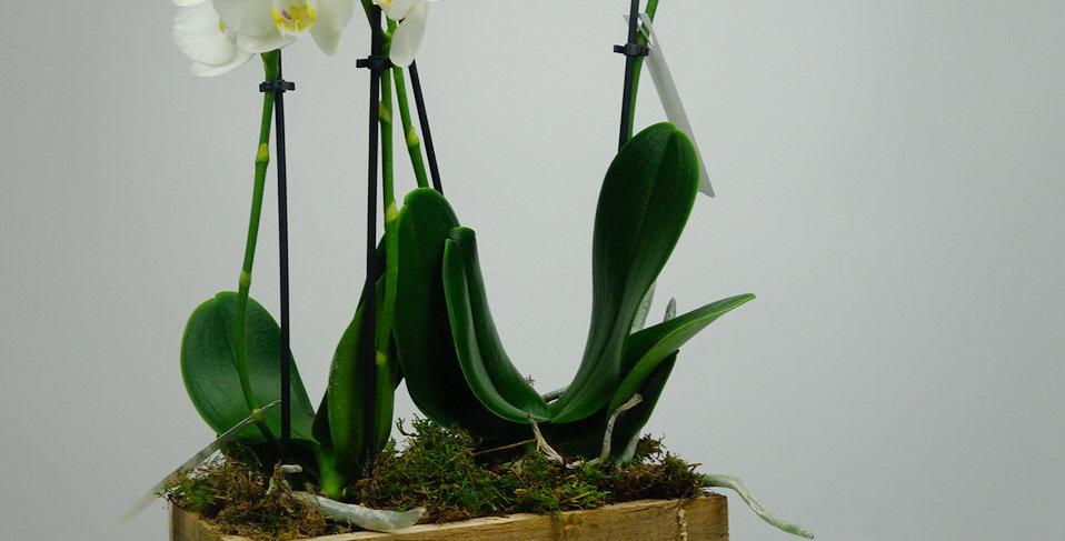tafelorchidee wit