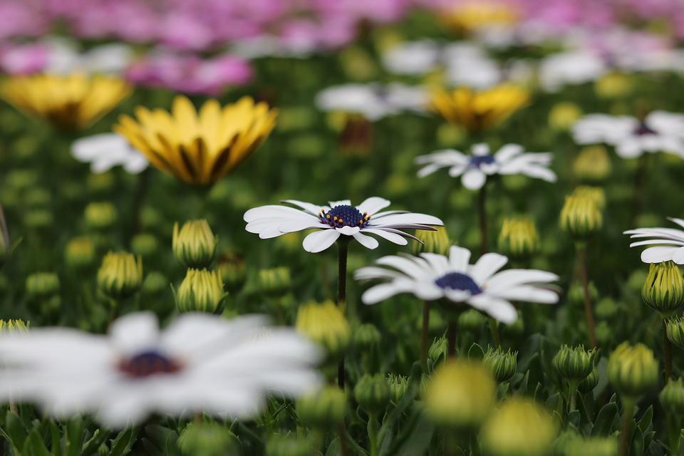 rijkbloeiende plant met margrietachtige bloemen