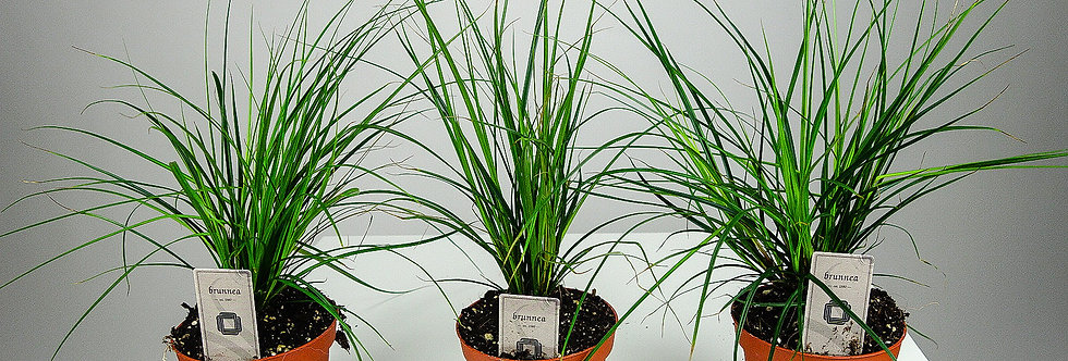 Carex brunnea