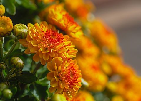 chrysanthemums-5595549_960_720.jpg
