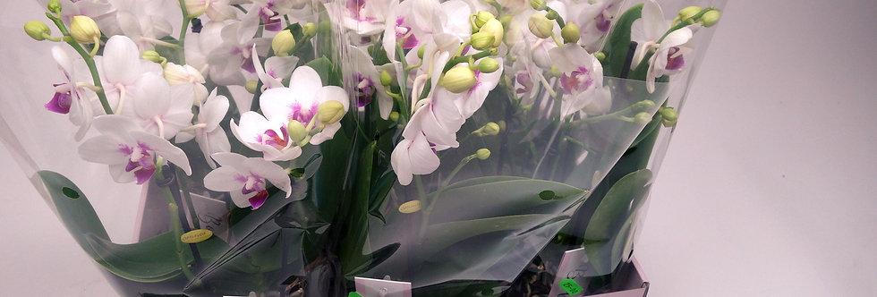 Orchidee Boquetto passione