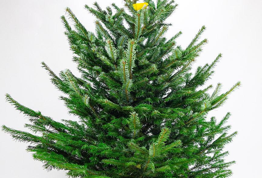 Kerstboom Nordmann gezaagd +- 150cm