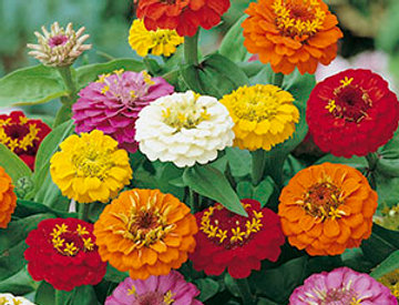 Zinnia Kleinbloemige Mixed colours