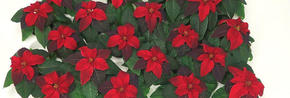 Kerstster mini rood