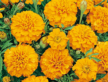 Tagetes Lage oranje