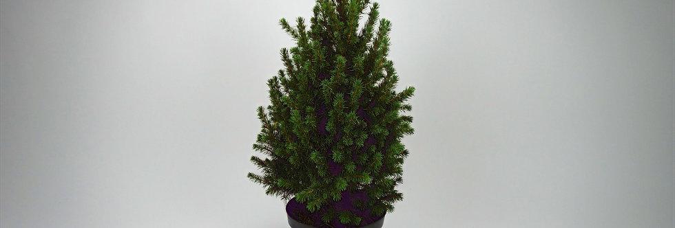 Picea conica H60-70cm