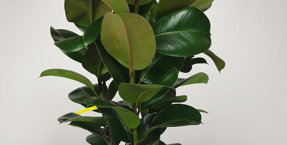 Ficus elastica (Rubberplant)