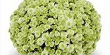 Potchrysant wit-groen