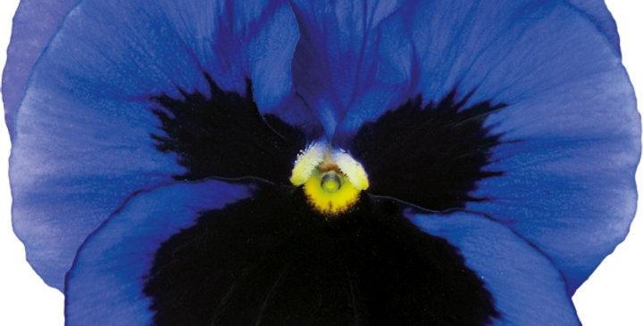 Viooltje grootbloemig blauw-zwart