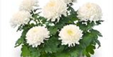 Bolchrysant wit