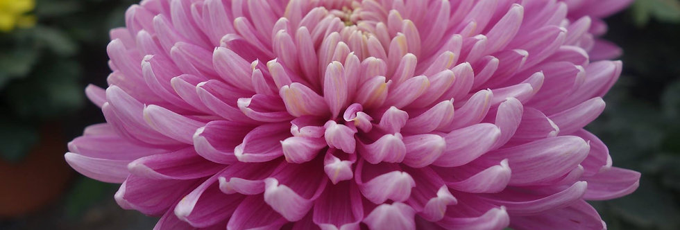 Bolchrysant Roze