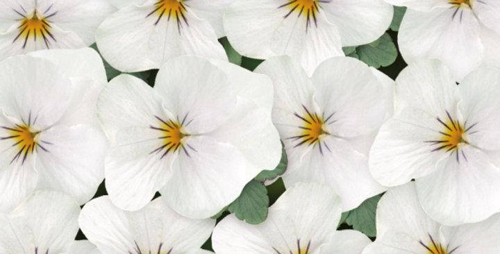 Viooltje kleinbloemig wit