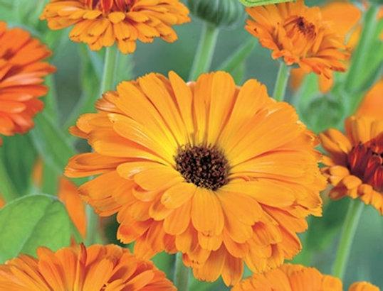 BIO Goudsbloem oranje