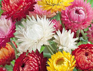 Strobloemen Tom Thumb